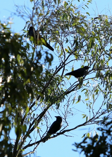 Shows three Little Ravens, Edward Hunter Heritage Bush Reserve