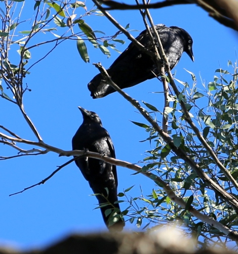 Shows white eyes and finer beaks of Little Raven, Edward Hunter Heritage Bush Reserve