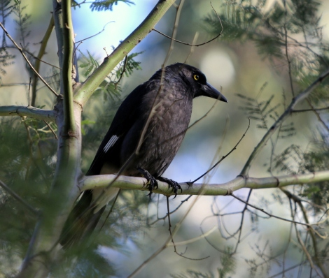 Shows Pied Currawong, Edward Hunter Heritage Bush Reserve
