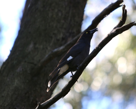 Shows Pied Currawong carolling, Edward Hunter Heritage Bush Reserve