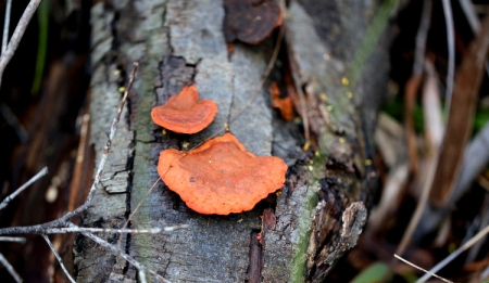 Shows Pycnoporus coccineus, Edward Hunter Heritage Bush Reserve