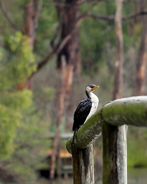 Shows Little Pied Cormorant, Edward Hunter Heritage Bush Reserve