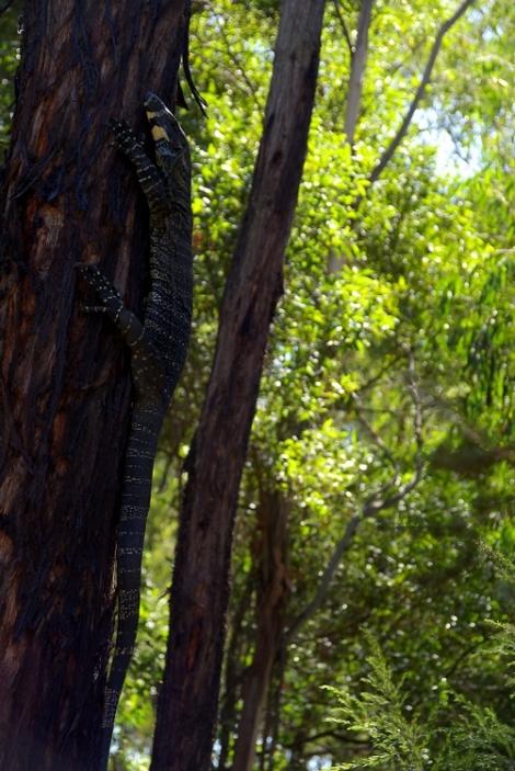 Shows lace monitor, Edward Hunter Heritage Bush Reservee