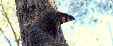 Shows Tree Goanna, contributed by L. Zonneveld, Edward Hunter Heritage Bush Reserve