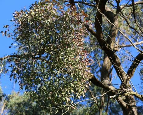 Shows habit and appearance of Creeping mistletoe, Edward Hunter Heritage Bush Reserve