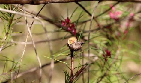 Open seed pod of pink flowering form of hakea decurrens, Edward Hunter Heritage Bush Reserve