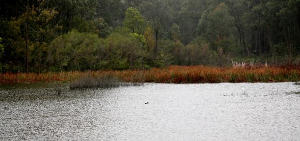 Shows Reservoir reeds, late winter, Edward Hunter Heritage Bush Reserve