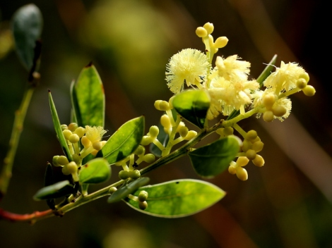 Shows flowers and buds of Myrtle Wattle, Edward Hunter Heritage Bush Reserve