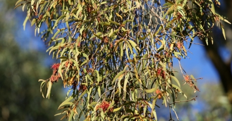 Show s Drooping habit of Drooping mistletoe, Edward Hunter Heritage Bush Reserve