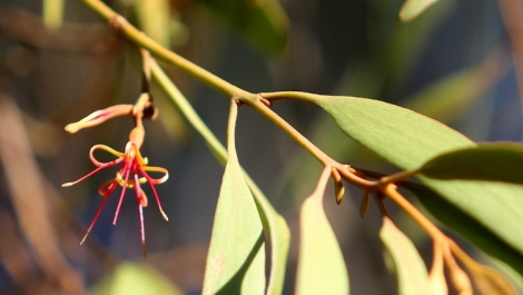 Shows Drooping mistletoe flower, Edward Hunter Heritage Bush Reserve