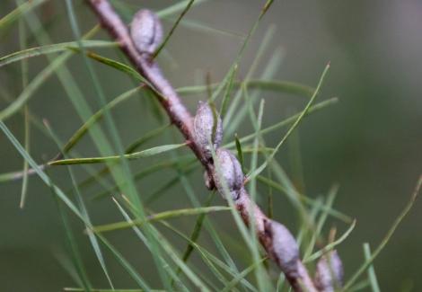 Seed pods of the Furze Hakea (hakea ulicina), Edward Hunter Heritage Bush Reserve