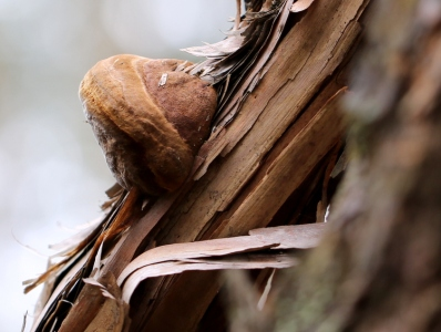 Shows brown bracket fungi on downed tea tree trunk. Edward Hunter Heritage Bush Reserve