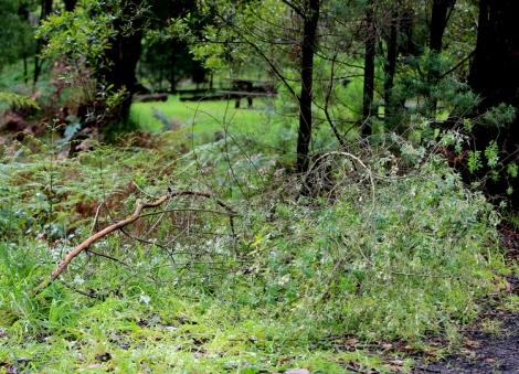 Shows removed tree lucerne, Edward Hunter Heritage Bush Reserve