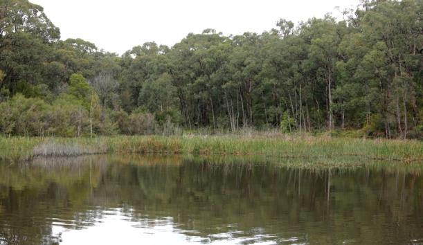 Shows green reeds of reservoir in warmer weather, Edward Hunter Heritage Bush Reserve