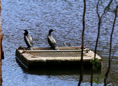 Shows Little Black Cormorants, Edward Hunter Heritage Bush Reserve