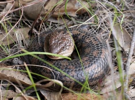 Shows Eastern blue-tongue lizard, Edward Hunter Heritage Bush Reserve