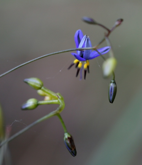 Shows Flax lily, Dianella, Edward Hunter Heritage Bush Reserve
