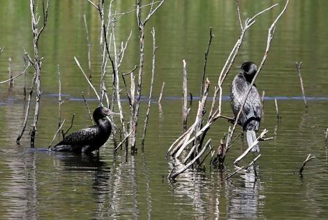 Shows cormorants, Edward Hunter Heritage Bush Reserve