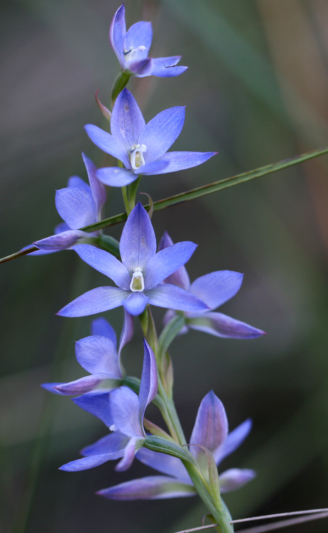 Shows Tall sun-orchid, Edward Hunter Heritage Bush Reserve
