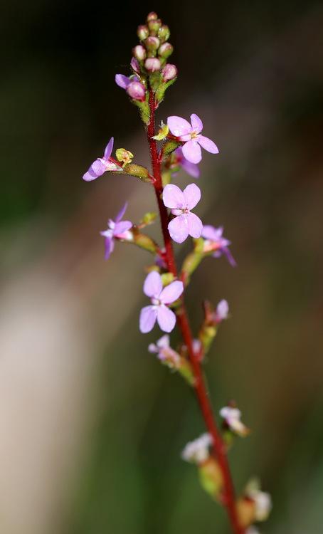 Shows Trigger plant, Stylidium graminifolium, Edward Hunter Heritage bush Reserve