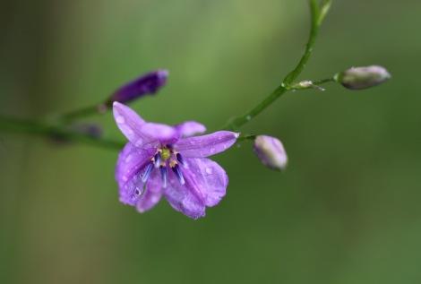 Shows Chocolate lily, Anthropodium strictum, Edward Hunter Heritage Bush Reserve