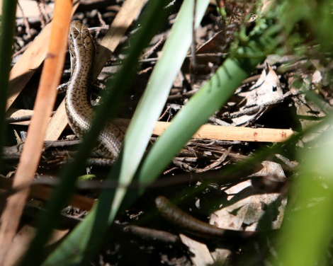 Shows lizard, Edward Hunter Heritage Bush Reserve