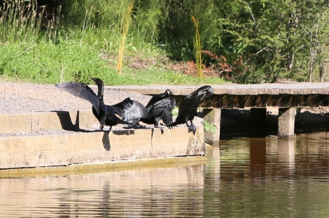 Shows cormorants warming in the sun, Edward Hunter Heritage Bush Reserve
