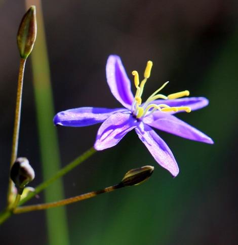 Shows Tufted Blue-lily, Edward Hunter Heritage Bush Reserve