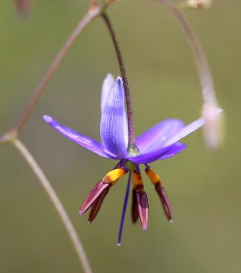 Flax-lily, Edward Hunter Heritage Bush Reserve