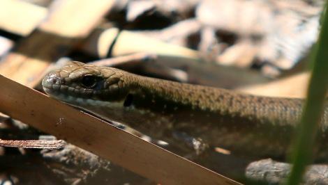 Shows Water Skink, Edward Hunter Heritage Bush Reserve