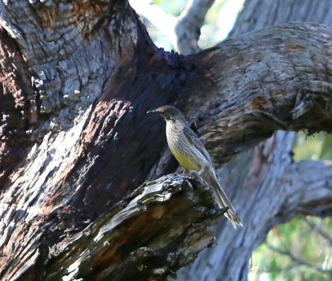 Shows red wattlebird, Edward Hunter Heritage Bush Reserve