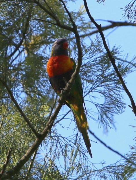 Shows Rainbow Lorikeet, Edward Hunter Heritage Bush Reserve