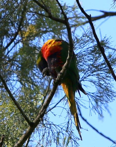 Shows preening Rainbow Lorikeet, Edward Hunter Heritage Bush Reserve