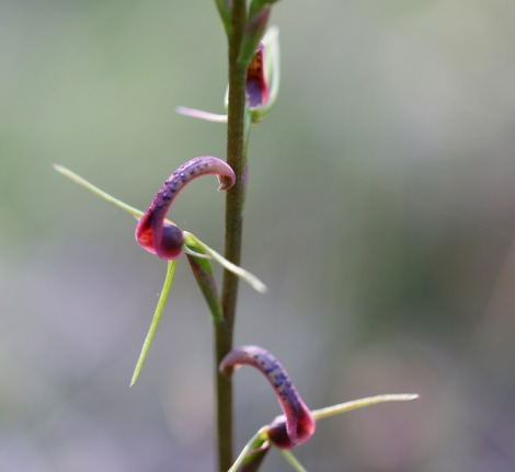 Shows flower of Small tongue-orchid, Cryptostylis leptochila, Edward Hunter Heritage Bush Reserve