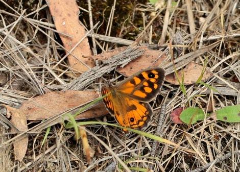 Shows Klug's Xenica butterfly, Edward Hunter Heritage Bush Reserve