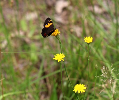 Shows Sword -grass brown butterfly, Edward Hunter Heritage Bush Reserve