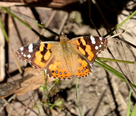 Shows Yellow painted lady butterfly, Edward Hunter Heritage Bush Reserve
