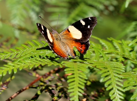 Shows Yellow admiral butterfly, Edward Hunter Heritage Bush Reserve
