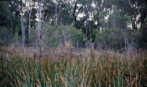 Shows willow among reeds, Edward Hunter Heritage Bush Reserve