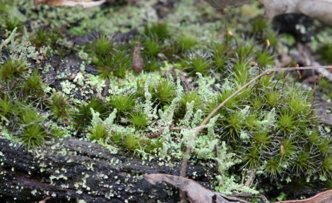 Shows Cladonia sp.lichen and moss, Edward Hunter Heritage Bush Reserve
