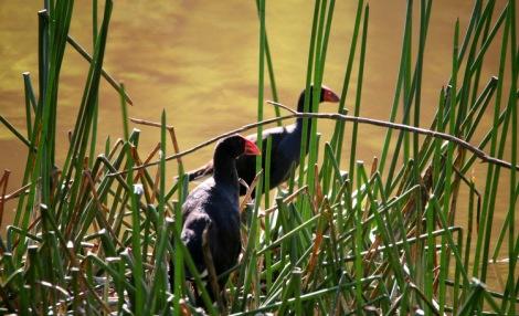 Shows couple of Pruple swamphens, Edward Hunter Heritage Bush Reserve
