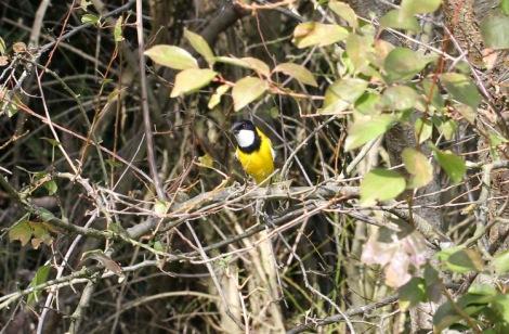 Shows male Golden Whistler, Edward Hunter Heritage Bush Reserve