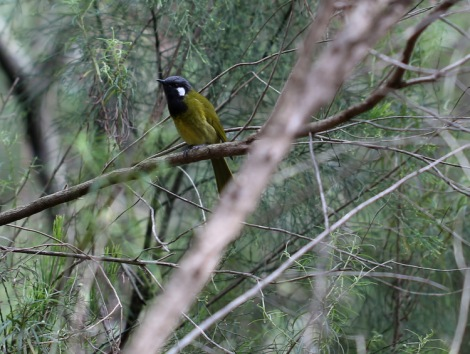 Shows White-eared Honeyeater, Edward Hunter Heritage Bush Reserve