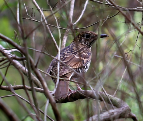 Shows Bassian Thrush, Edward Hunter Heritage Bush Reserve