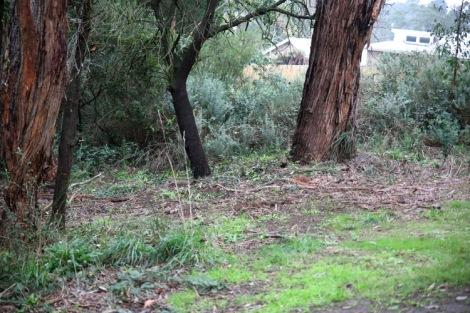 Shows before image of broom infestation, TB Drew Park