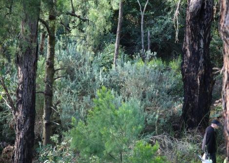 Shows before image of broom infestation, Edward Hunter Heritage Bush Reserve