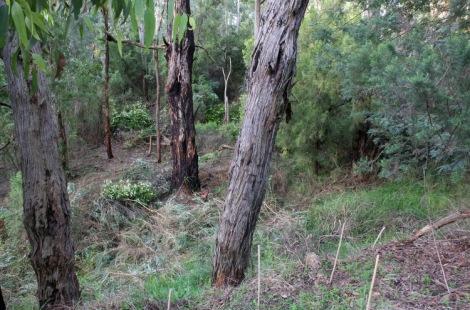 Shows after image of broom removal, Edward Hunter Heritage Bush Reserve