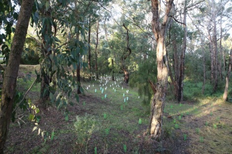 Shows plantings in the old Coalville Road section, Edward Hunter Heritage Bush Reserve