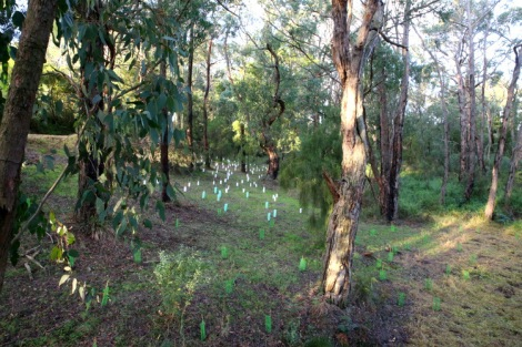 Plantings in the old Coalville Road section of the Reserve, Edward Hunter Heritage Bush Reserve