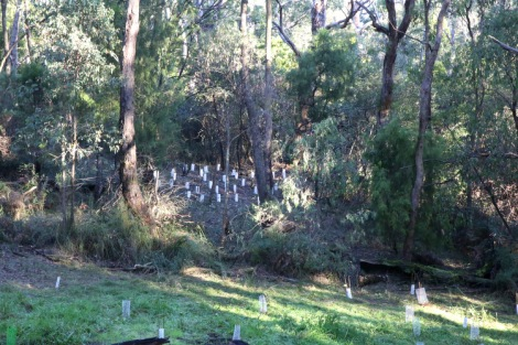 Shows after image, after woody weed removal and planting of hop goodenia, Edward Hunter Heritage Bush Reserve